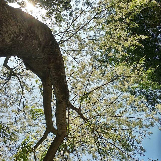 Một thoáng Hà Nội yên bình vào mùa hoa sưa