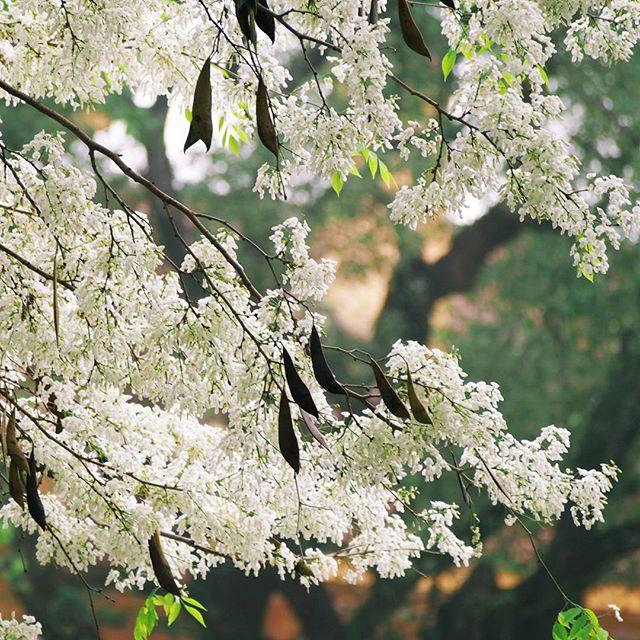 Tháng ba Hà Nội nhuộm sắc trắng hoa sưa