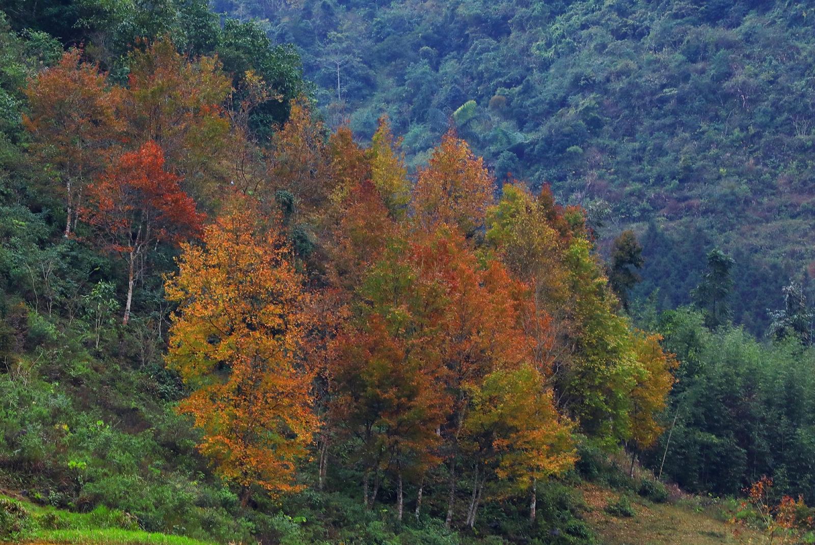 Cứ ngỡ như mình lạc vào khu rừng Hàn Quốc những ngày thu về