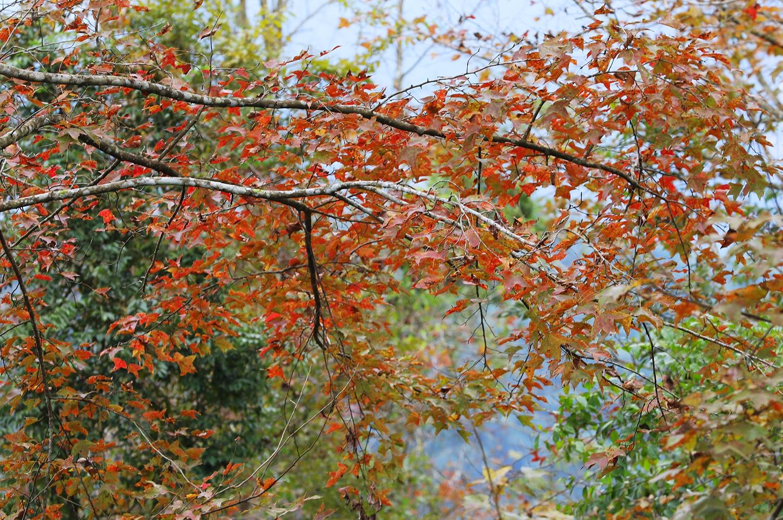 Những chiếc lá 3 cánh nhuốm màu vàng cam